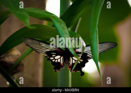 Great Yellow Mormon Butterfly - Stock Photo