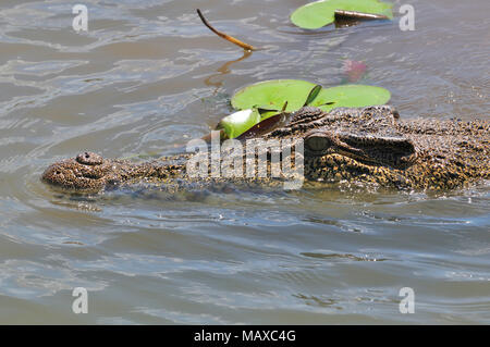 Large salt water crocodile on the Yellow Water Billabong,Kakadu, Northern Territory, Top End, Australia - Stock Photo