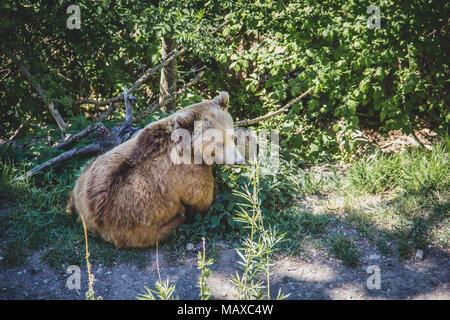 One of the city bears in Bern Switzerland - Stock Photo