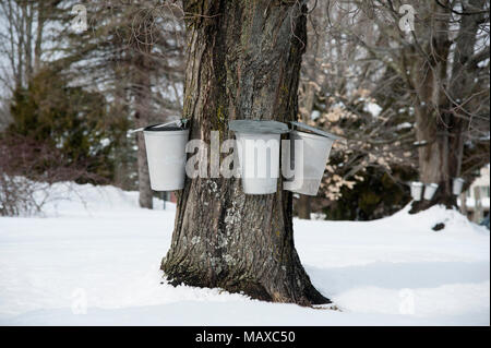 Traditional aluminum buckets collect sap from an old maple tree to be sued for making maple syrup and sugar in southern Maine. - Stock Photo