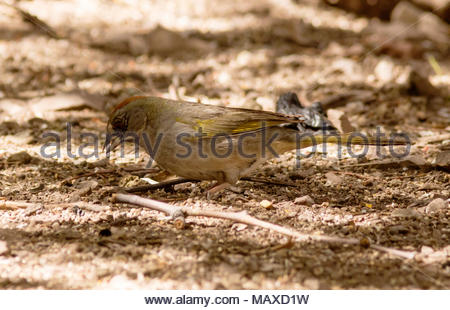 Green-tailed Towhee, Pipilo chlorurus,  feeding on ground in Arizona, USA Stock Photo
