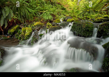 WA15003-00...WASHINGTON - Mineral Creek in the Hoh Rain Forest of Olympic National Park. - Stock Photo