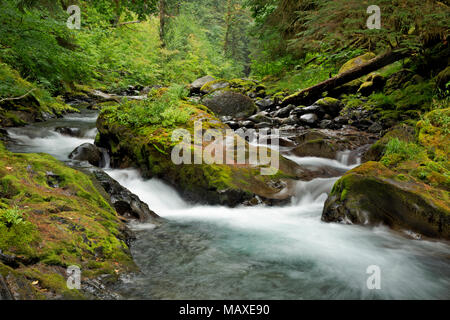WA15019-00...WASHINGTON - Moss covered rocks along the banks of the North Fork Sol Duc River in Olympic National Park. - Stock Photo