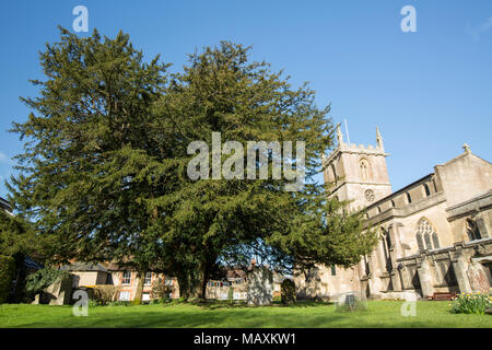 St. Mary the Virgin church, with a large yew tree in its grounds Gillingham Dorset England UK - Stock Photo