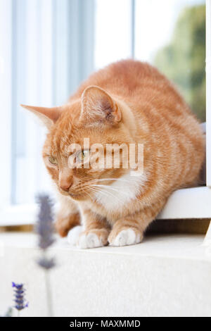 A pet ginger cat perched on a windowsill with lavender flowers in the foreground and trees reflected in the window behind. - Stock Photo