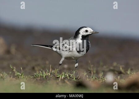 White Wagtail (Motacilla alba) In Grass. - Stock Photo