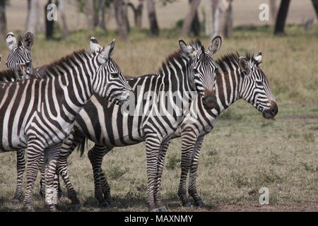 Herd of Plains Zebras, Faces and stripes - Stock Photo
