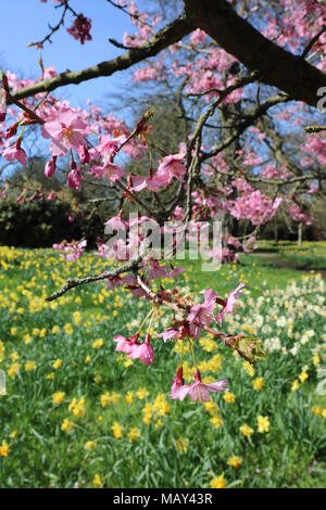 Hampton Court, SW London, England. 5th April 2018. Fabulous Spring sunshine at Hampton Court Palace in South West London, where the daffodils and cherry blossom are in full bloom in the gardens. Credit: Julia Gavin/Alamy Live News - Stock Photo