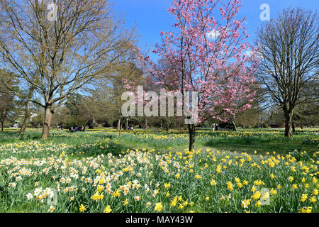 Hampton Court, SW London, England. 5th April 2018. Fabulous Spring sunshine at Hampton Court Palace in South West London, where the daffodils and cherry blossom are in full bloom inthe gardens. Credit: Julia Gavin/Alamy Live News - Stock Photo