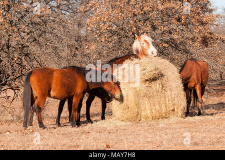 Five horses eating hay off of a large round bale in winter - Stock Photo