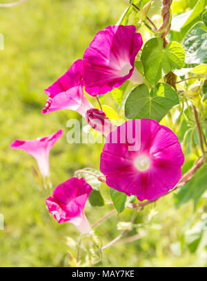 Bright pink Morning Glory flowers in summer sun - Stock Photo