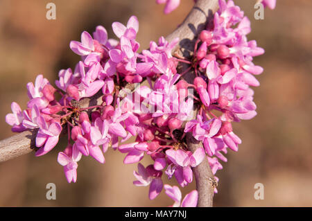 Closeup of pink flower clusters of an Eastern Redbud tree in full bloom - Stock Photo