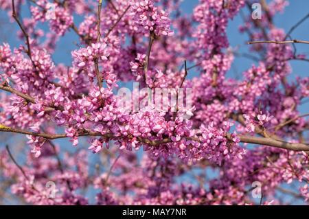 Vibrant colors of Eastern Redbud tree in full bloom, against blue skies - Stock Photo
