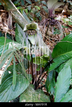 White batflower, Tacca integrifolia, growing in a tropical jungle with all its whiskers intact. - Stock Photo