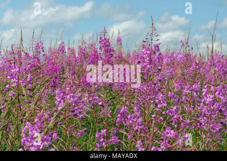 Flowering Ivan-chai on blue sky background - Stock Photo