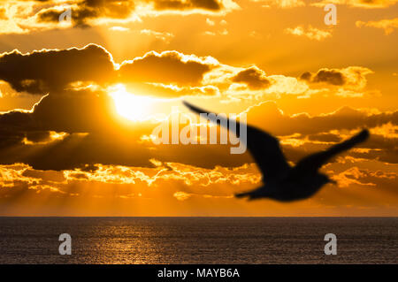 Silhouette of a seagull flying over the sea, as a dramatic sunset takes place over the ocean, with suns rays clearly visible. - Stock Photo