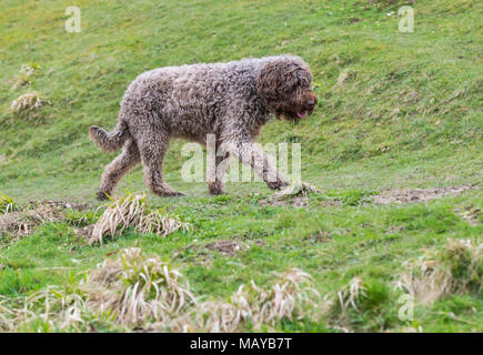 Side view of a walking Spanish Water Dog (Perro de agua Español) in the countryside in the UK. - Stock Photo