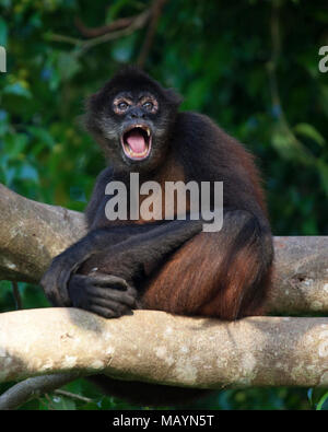 Black-handed Spider Monkey (Ateles geoffroyi) calling to other monkeys. - Stock Photo