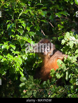 Black-handed Spider Monkey (Ateles geoffroyi) in tropical rainforest. - Stock Photo