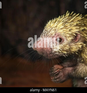 Mexican hairy dwarf porcupine (Coendou mexicanus)  in sanctuary - Stock Photo
