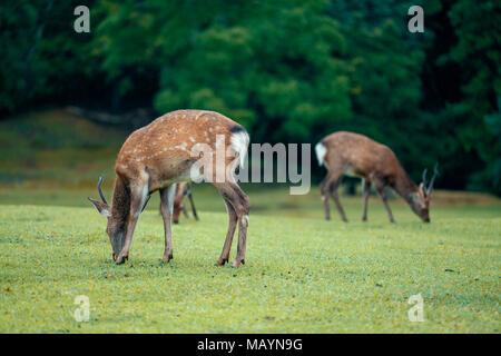 Deer in the park of Nara. Japan during the rainy season - Stock Photo