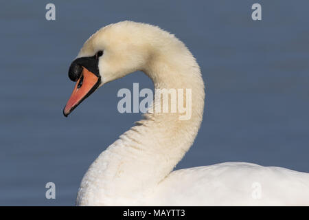 headshot of an adult Mute Swan (Cygnus olor) - Stock Photo
