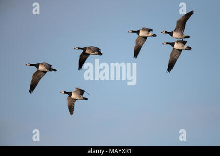 Barnacle geese (Branta leucopsis) in flight, Texel, North Holland, Netherlands - Stock Photo