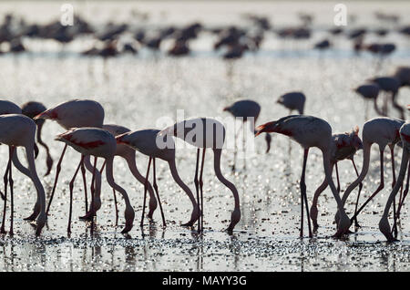 Greater Flamingos (Phoenicopterus roseus), feeding, silhouette, backlight, Malaga province, Andalusia, Spain - Stock Photo