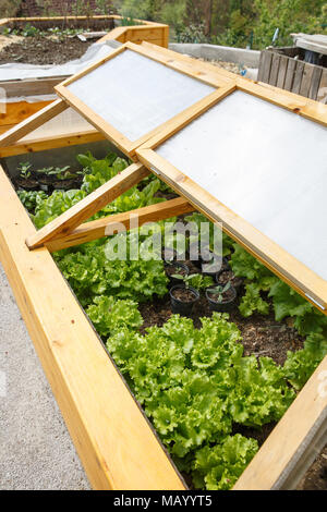 Homemade greenhouse raised garden bed with young lettuce and other vegetables being grown. Modern gardening, winter production, organic gardening, hom - Stock Photo