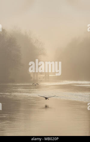 Swans in flight at dawn on the River Wye. - Stock Photo
