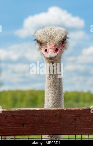 Ostrich head close up on a ostrich farm. Ostriches in the corral on the farm. Funny and strange ostrich with a cloud on his head looks in the frame wi - Stock Photo