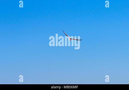 Single Grey Headed Seagull flying overhead against blue sky background - Stock Photo