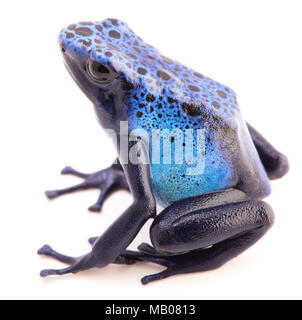 Dendrobates azureus, poison dart or arrow frog from the tropical Amazon rain forest in Suriname. A vivid blue animal isolated on a white background. - Stock Photo