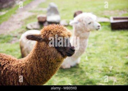 Cute little baby alpaca from Peru - Stock Photo