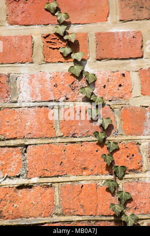 A single strand of ivy climbing a red brick railway bridge, Dorset UK - Stock Photo