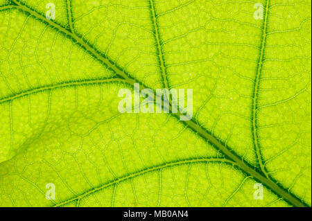single leaf of oak tree isolated over white background - Stock Photo