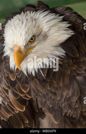 portraits of rescued bald eagle at a sanctuary in cambridgeshire, england, europe - Stock Photo
