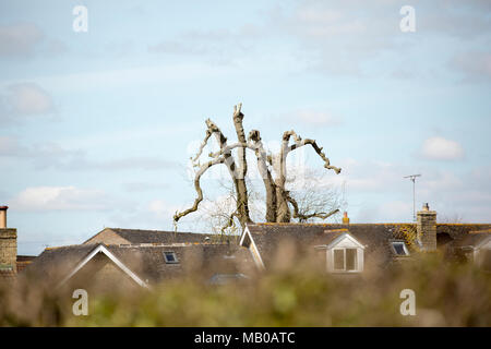 A large ash tree that has been pruned, or pollarded back, near housing and telephone wires, Dorset England UK GB - Stock Photo