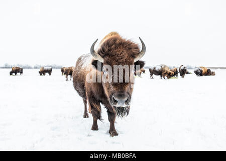 Herd of American Bison, or Plains Bison, (Bison bison bison) in winter, Manitoba, Canada. - Stock Photo
