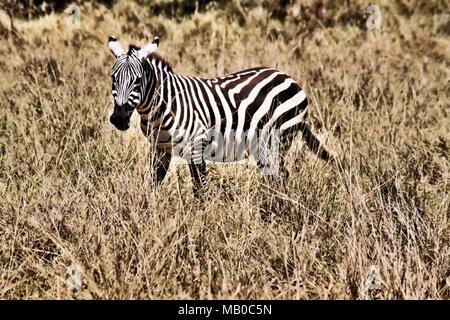 A Zebra on the African plains in Kenya - Stock Photo