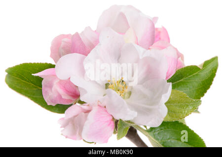 blooming blossoms of apple tree isolated over white background - Stock Photo