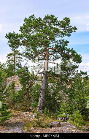 A tall pine standing on a stony slope near the Ladoga lake in Karelia, against the background of a blue sky and clouds. - Stock Photo