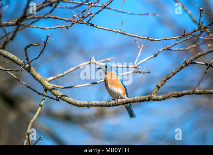 Closeup of a colorful Eastern Bluebird perched on a tree branch in the Spring - Stock Photo