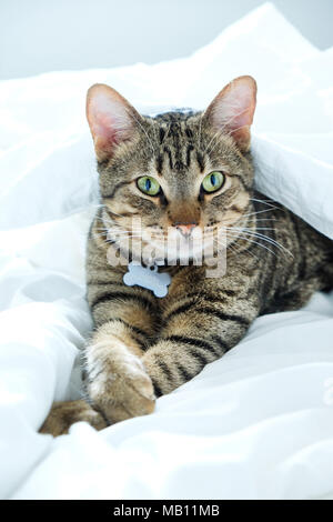 one year old striped, tabby cat staring at the camera, the cat is lying in the middle of white sheets on a bed and has it's front pawa crossed, it has - Stock Photo