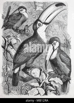 Riesentukan, Ramphastos toco, common toucan, giant toucan, digital improved reproduction of an original print from the year 1895 - Stock Photo