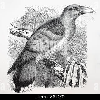 Kuckuck, Cuculus canorus, Common cuckoo, digital improved reproduction of an original print from the year 1895 - Stock Photo