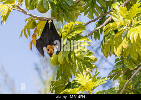 Seychelles fruit Bat, otherwise known as Seychelles Flying Fox (Pteropus seychellensis), in tree, Silhouette Island, Seychelles - Stock Photo