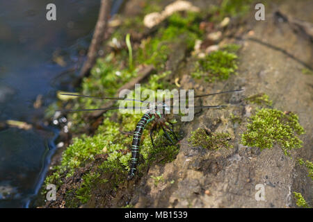 06370-00203 Swamp Darner (Epiaeschna heros) female ovipositing laying eggs on log in water, Marion Co., IL - Stock Photo