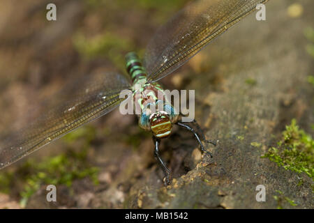 06370-00211 Swamp Darner (Epiaeschna heros) female ovipositing laying eggs on log in water, Marion Co., IL - Stock Photo