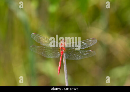 06663-00108 Ruby Meadowhawk dragonfly (Sympetrum rubicundulum) male, Jo Daviess Co.  IL Stock Photo